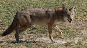 Pocatello Trail Still Closed Due to Coyotes