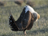 Sage Grouse - Wikimedia Commons - Animalparty